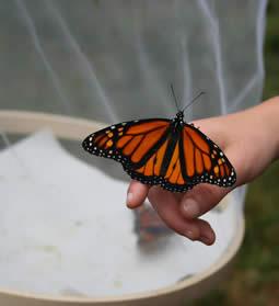 releasing monarch