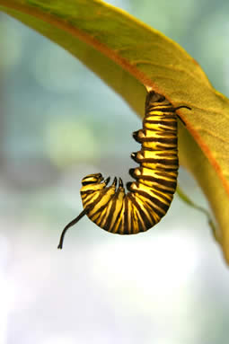 J caterpillar doing pupa dance